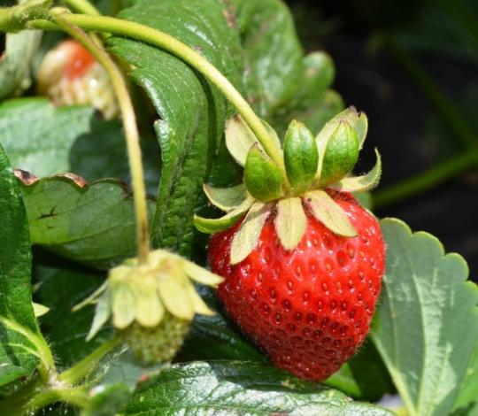 berries11